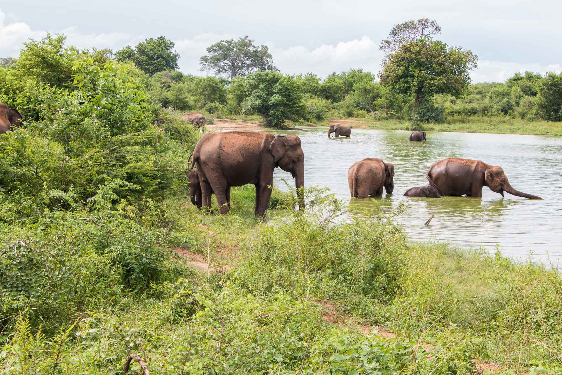 Elephants taking a bath at Udawalawe, Sri Lanka